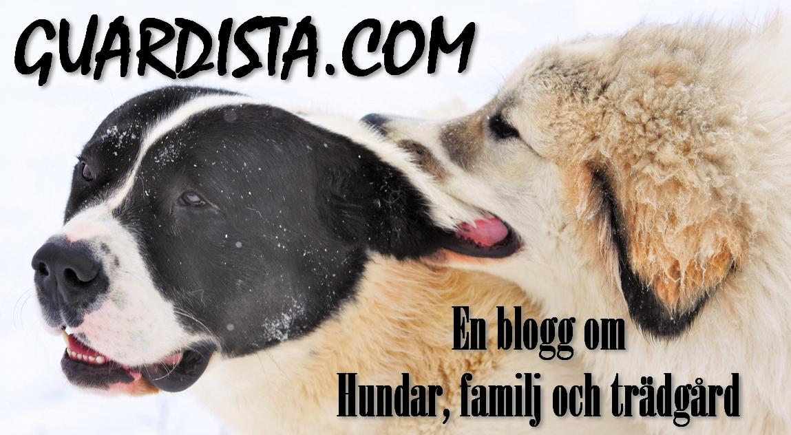 Pyrenéerhund och Sredneasiatskaja Ovtjarka